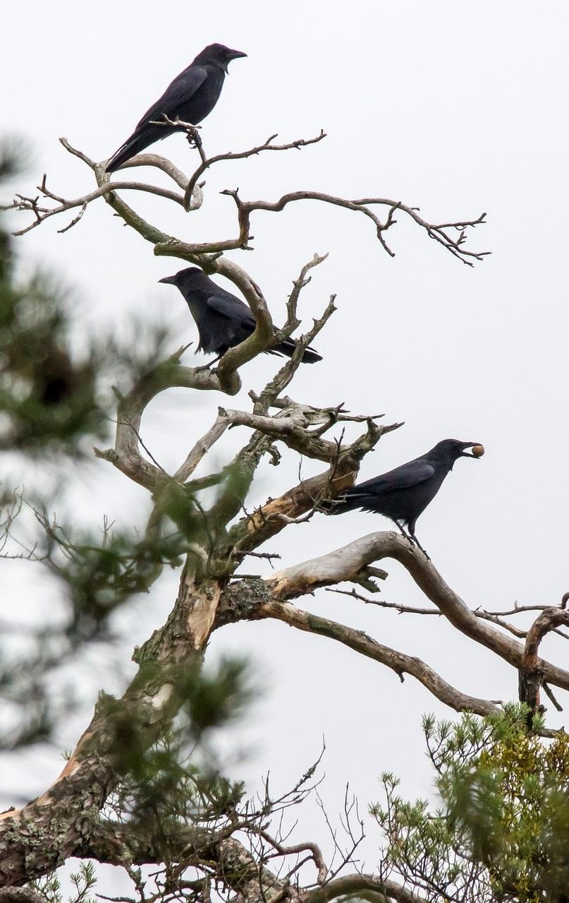 Krähen auf Baum