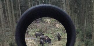 Wildschweine im Zielkreuz